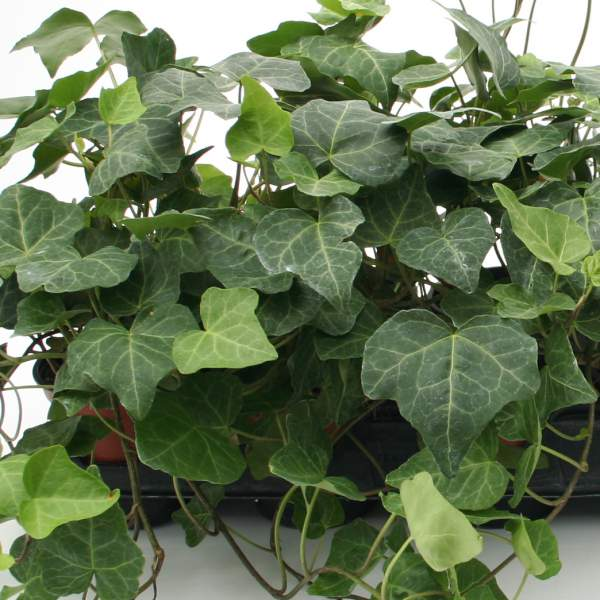 Hedera Ivy Baltic 4 Inch Pot - Rooted Cutting Liner
