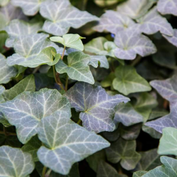 Image Of Hedera Ivy English