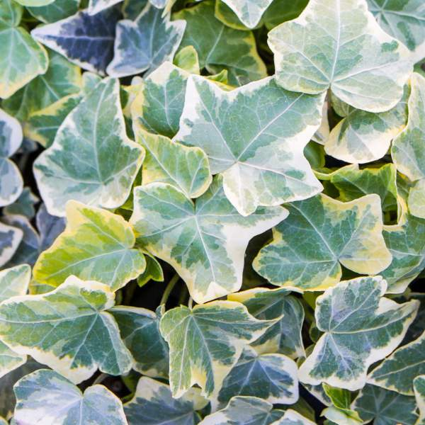 Image Of Hedera Ivy Gold Child