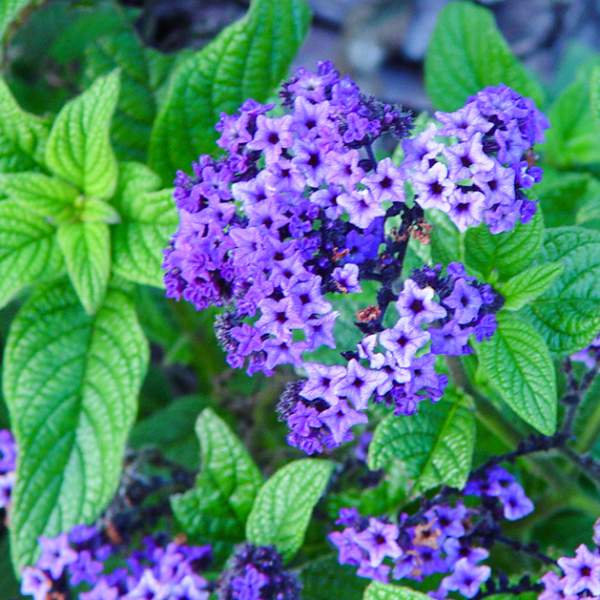 Heliotrope Purple Marine - Rooted Cutting Liner