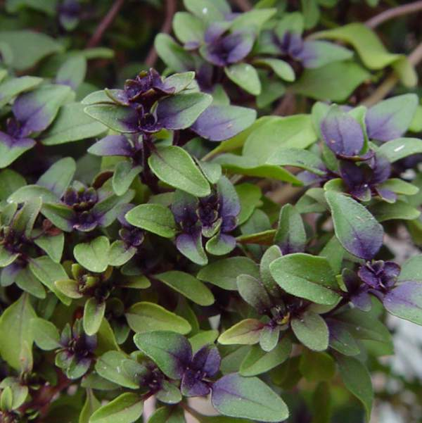 Herb Dwarf Basil - Unrooted Cuttings