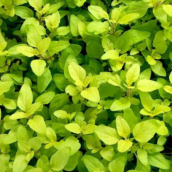 Herb Oregano Golden - Rooted Cutting Liner