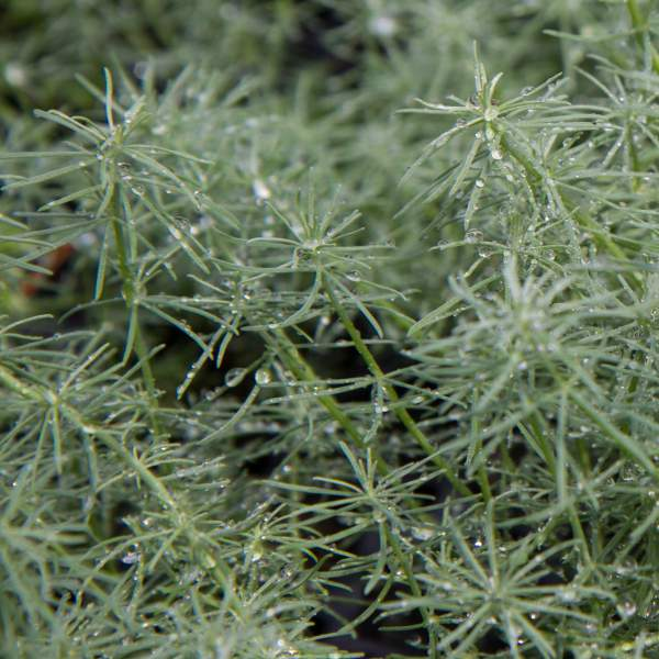 Image Of Herb Rosemary Prostratus  Trailing