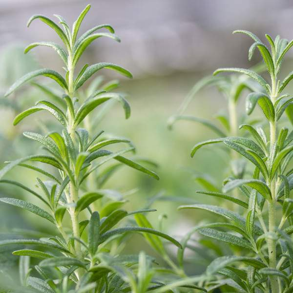 Herb Rosemary Tuscan Blue