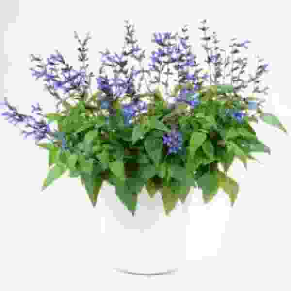 Herb Salvia Black And Blue