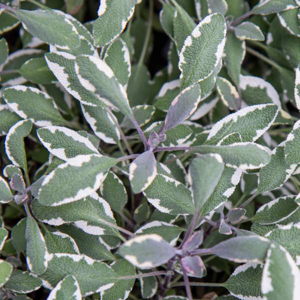 Image Of Herb Salvia Officinalis Tricolor Sage