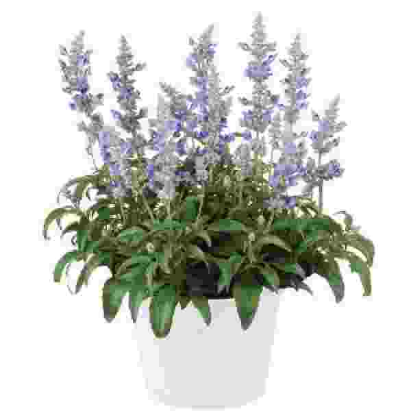 Herb Salvia Sallyfun Blue Ice