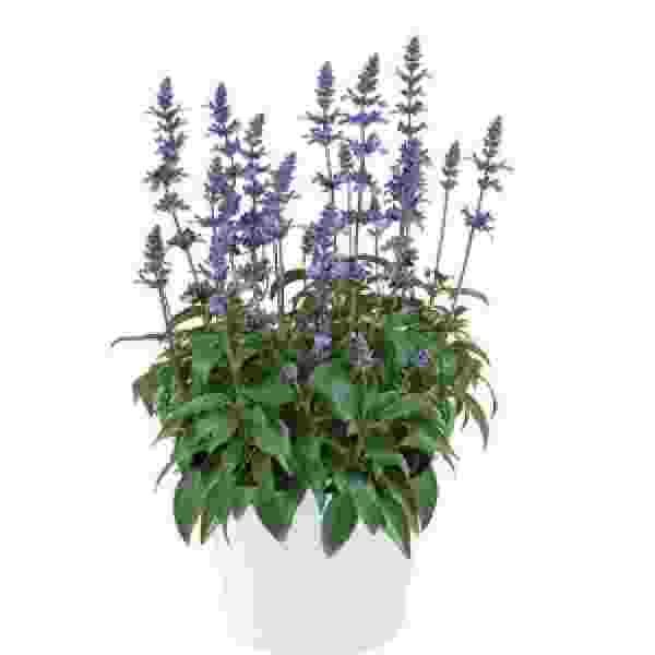 Herb Salvia Sallyfun Xl Blue