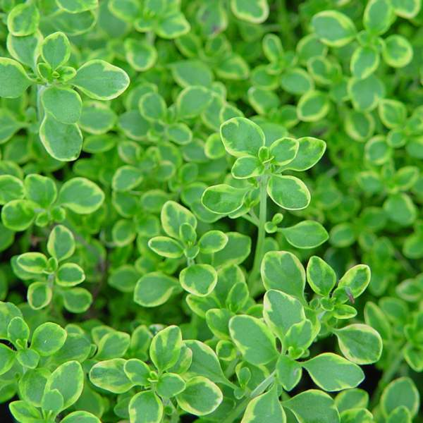 Image Of Herb Thyme Golden Edge