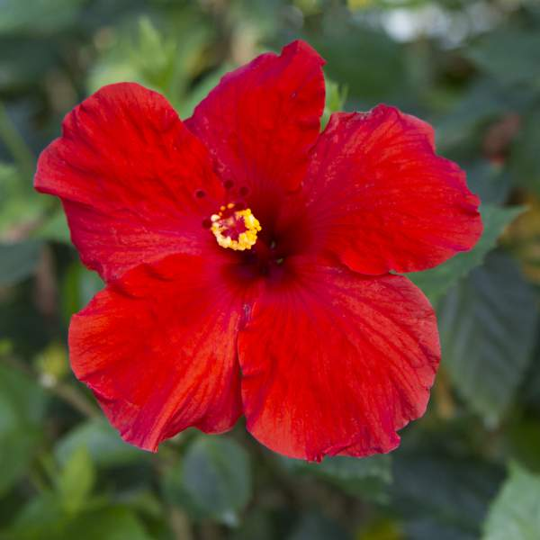Image Of Hibiscus Dark Red