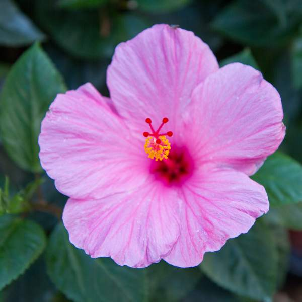 Image Of Hibiscus Rose Pink