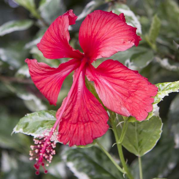Hibiscus Snow Queen - Rooted Cutting Liner