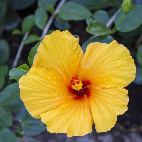 Hibiscus Yellow - Rooted Cutting Liner