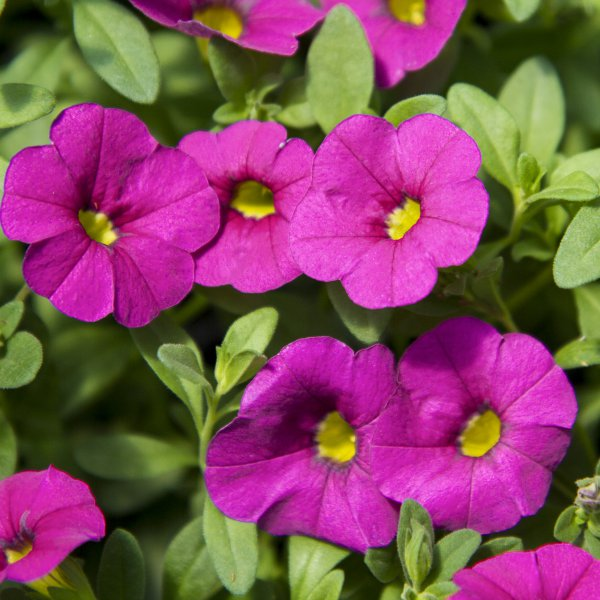 Calibrachoa Hot Pink - Rooted Cutting Liner