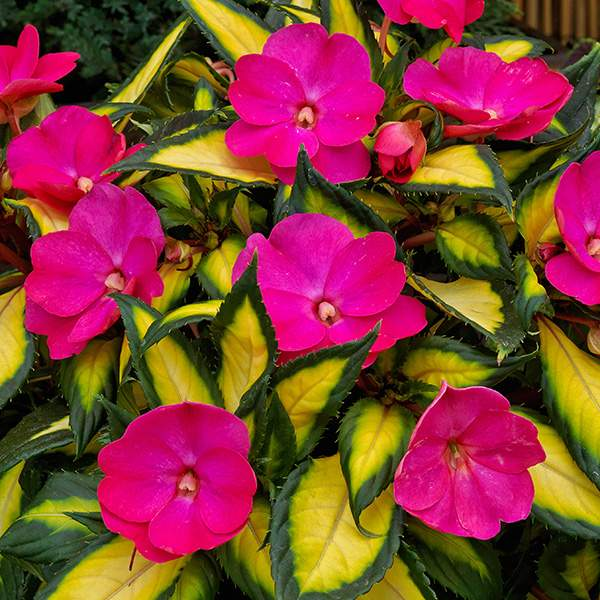Impatiens Sunpatiens Compact Tropical Rose - Rooted Cutting Liner