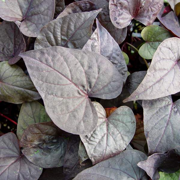 Image Of Ipomoea Sweet Potato Ace Of Spade