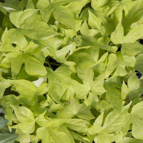 Ipomoea Sweet Potato Bright Ideas Lime - Rooted Cutting Liner