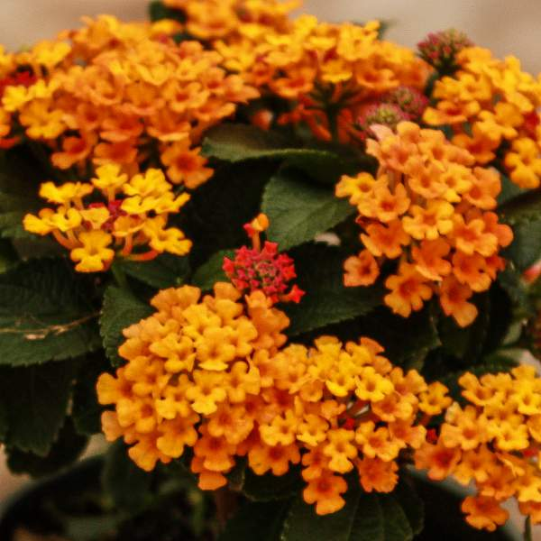 Image Of Lantana Bright Orange