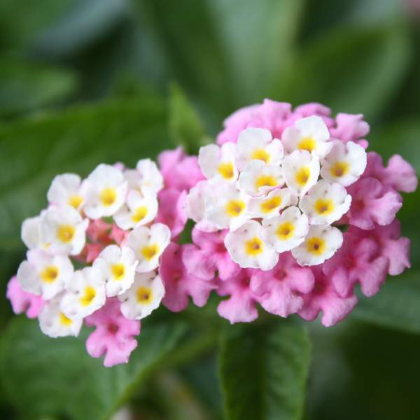 Image Of Lantana Bright Pink