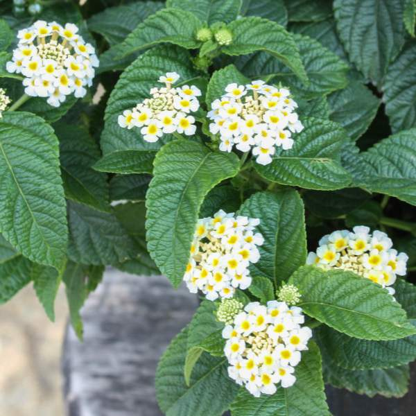 Image Of Lantana Buttercup