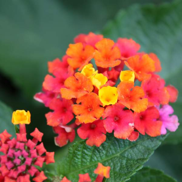 d7ff75fcb03e21 Wholesale Lantana Confetti Unrooted Cuttings