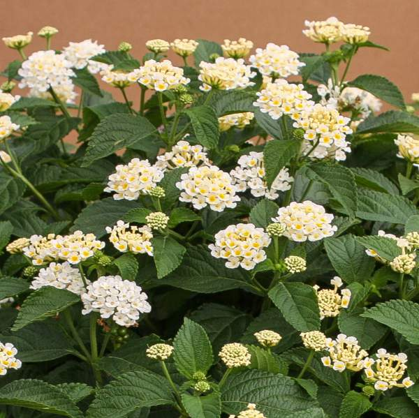 Lantana Cream - Rooted Cutting Liner