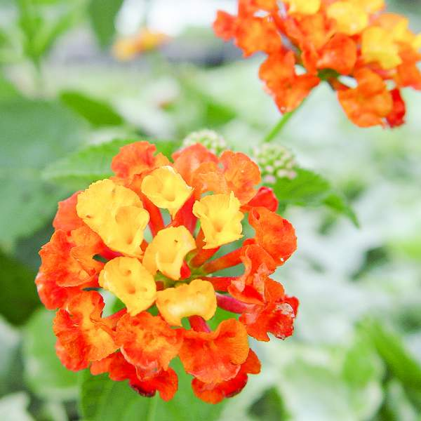 Image Of Lantana Dallas Red