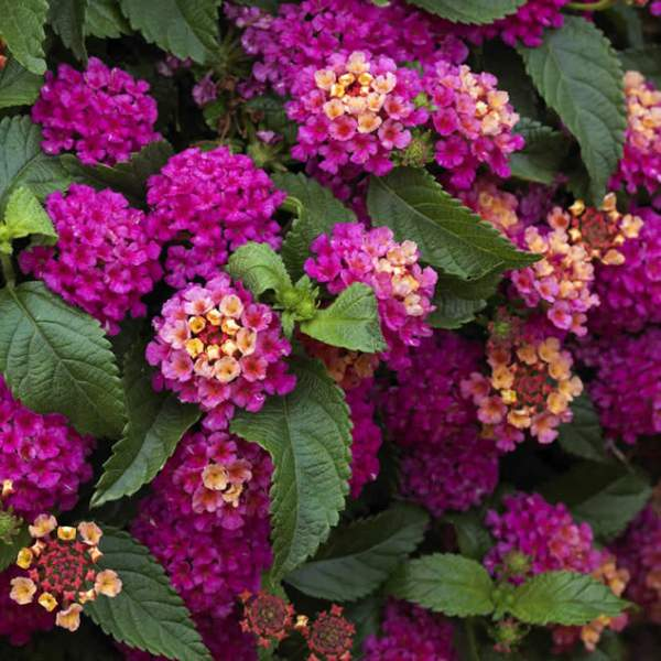 Image Of Lantana Dark Purple