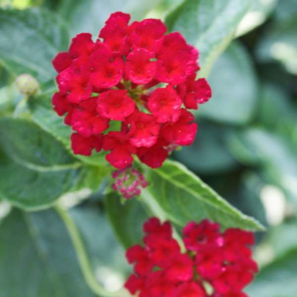 Image Of Lantana Dark Red