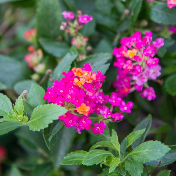 Image Of Lantana Dwarf Raspberry