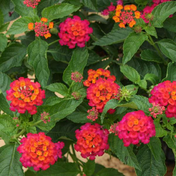 Lantana Elegance - Rooted Cutting Liner