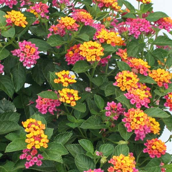 Lantana Fantasy - Rooted Cutting Liner