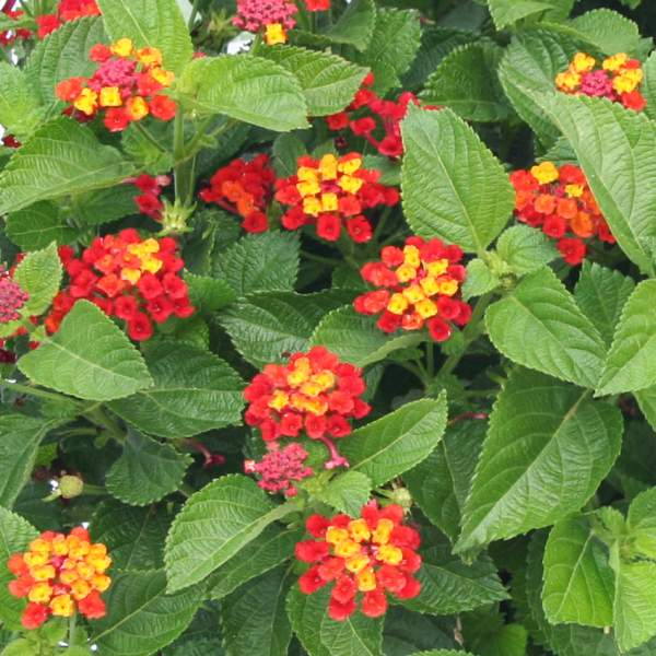 Lantana Fireworks - Rooted Cutting Liner