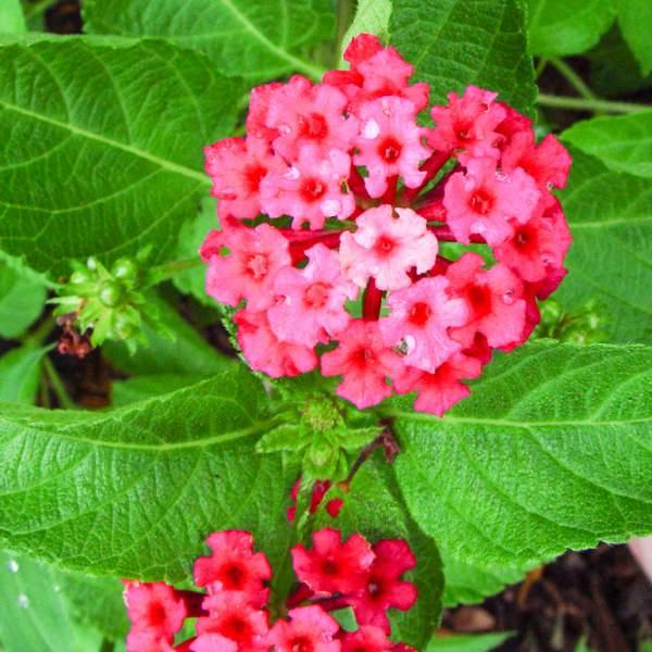 Image Of Lantana Florida Fuchsia