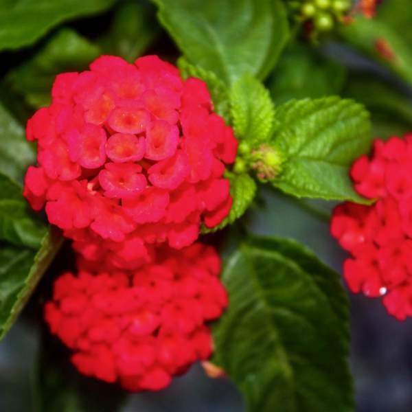 Lantana Florida Red - Rooted Cutting Liner