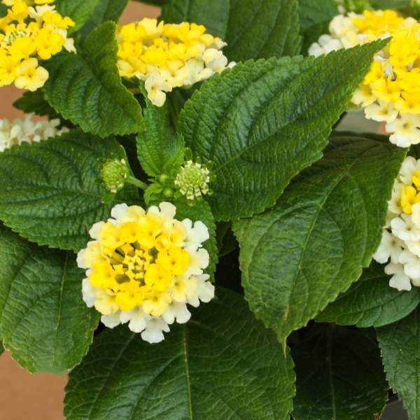 Image Of Lantana Golden Zinger