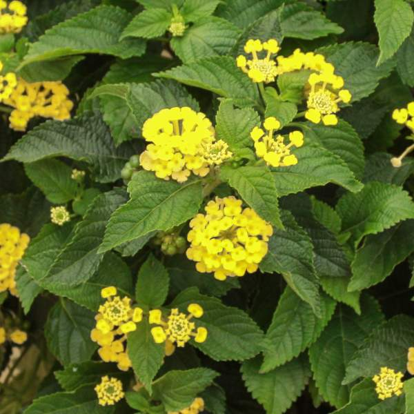 Lantana Goldie - Rooted Cutting Liner