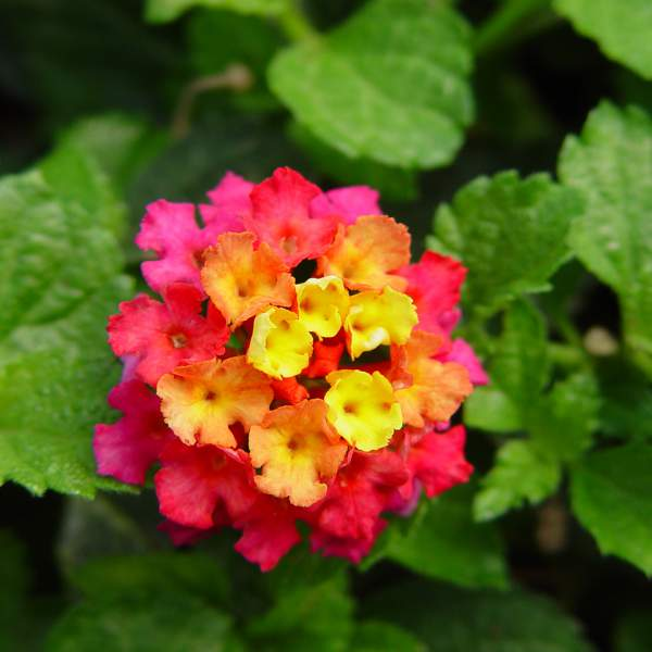 Lantana Irene - Rooted Cutting Liner
