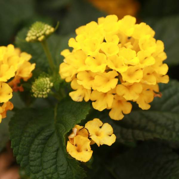 Lantana Knee High Gold - Rooted Cutting Liner