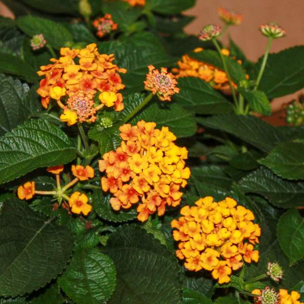 Image Of Lantana Knee High Orange