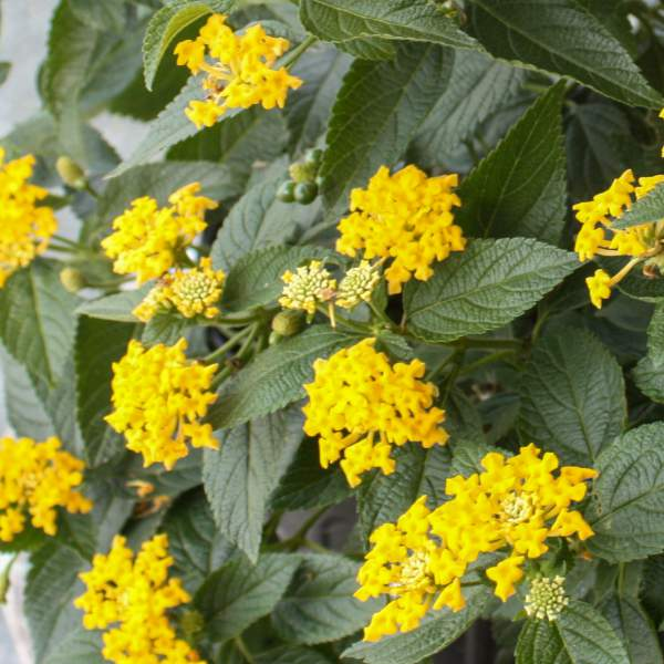 Image Of Lantana Knee High Yellow