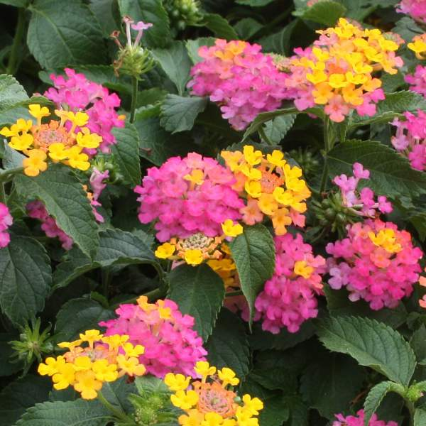 Image Of Lantana Lil Miss