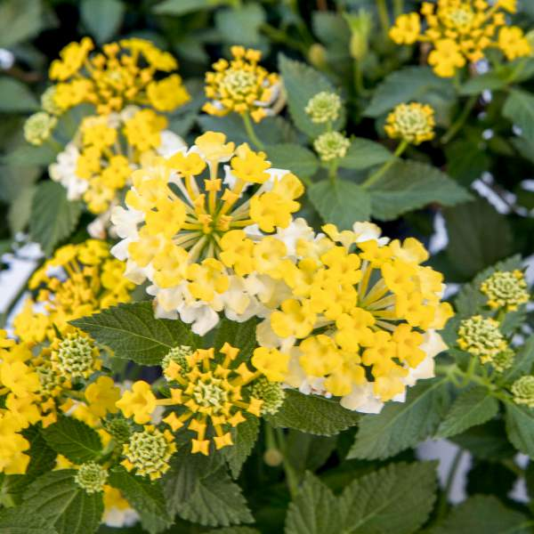 Image Of Lantana Magic Hour