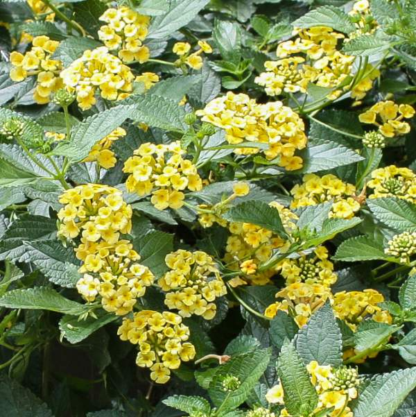Lantana Megans Gold - Rooted Cutting Liner