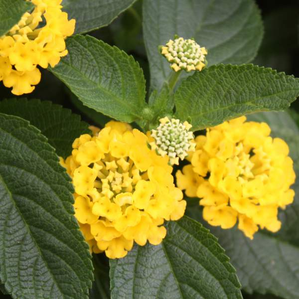 Lantana Nugget - Rooted Cutting Liner