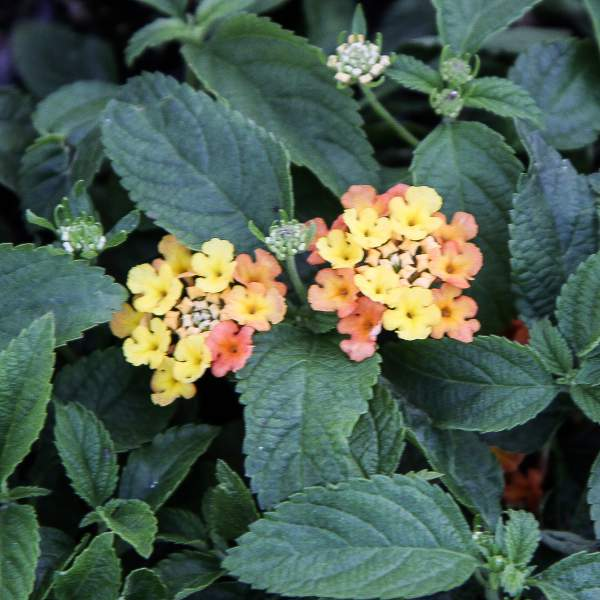 Lantana Orange Bicolor - Rooted Cutting Liner