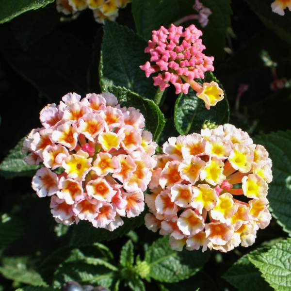 Image Of Lantana Peaches