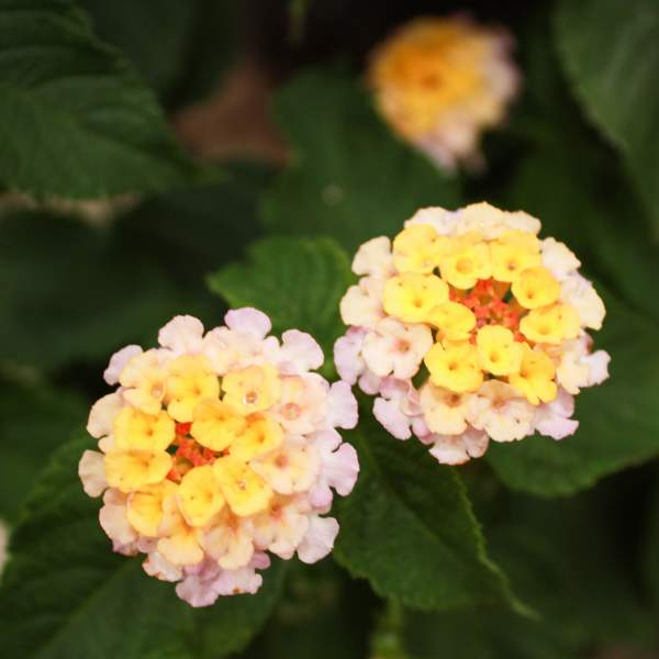Image Of Lantana Peachy Yellow