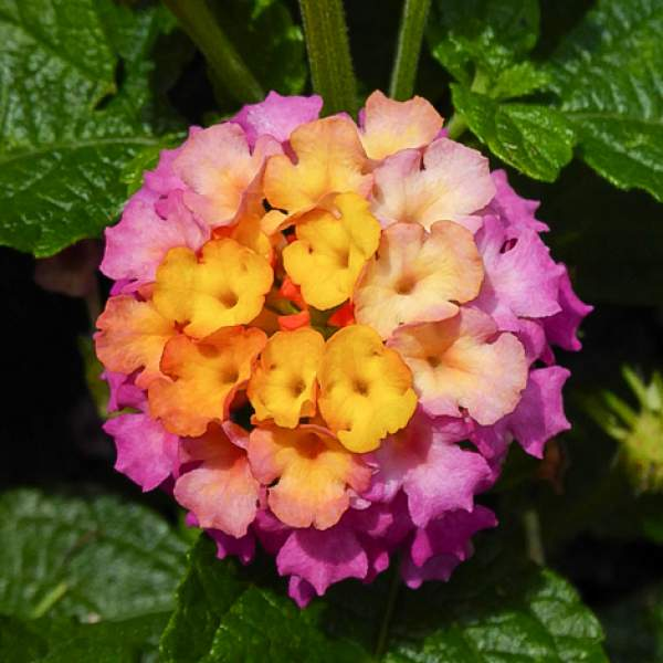 Image Of Lantana Pink Blush