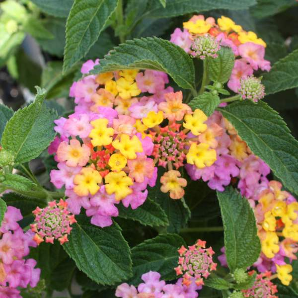 Lantana Pinky - Unrooted Cuttings